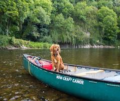 Great day canoeing yesterday on the Blackwater river! Can't wait to go again. • • • • • #campingwithdogs #hikingwithdogs #dogsonadventures #dogsthathike #adventuredog #thestatelyhound #houndandlife #backcountrypaws #doglove #hikingdogsofinstagram #excelle (watson_the_adventure_dog) Tags: great day canoeing yesterday blackwater river cant wait go again • campingwithdogs hikingwithdogs dogsonadventures dogsthathike adventuredog thestatelyhound houndandlife backcountrypaws doglove hikingdogsofinstagram excellentdogs adventureswithdogs topdogphoto heelergram hikingdog animaladdicts traildog ireland bestwoof campingcollective visualsgang wanderireland instaireland inspireland irishpassion irelandgram campingculture stayandwander