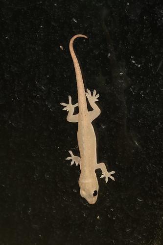 Gekkonidae sp.