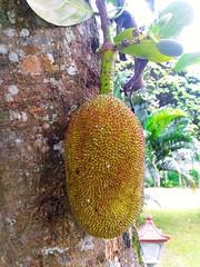 As green as possible...8th pics...They Call Me Jack! (Alvin Gunawan) Tags: jackfruit kalibarucottages kalibarueastjava hotelkalibaru nature fruit allnaturelovers theprivatetourindonesia theprivatetourcom