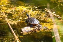 2U7A2214 (rpealit) Tags: scenery wildlife nature east hatchery alumni field painted turtle