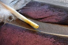 Federkiel (nirak68) Tags: lübeck schleswigholsteinkreisfreiehansestadtlübeck deutschland ger 197365 feder textur feather flügelfeder duck ente stockente erpel sommer 2017ckarinslinsede mallard 7dwf