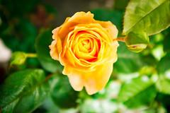 Rose (Guill_B) Tags: playground plantnursery print flower shop tirupsörtagård suède tirup scanie greenhouse skåne sverige sweden airedejeux skånelän se