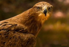 i'm watching you (jeff.white18) Tags: tawnyeagle eagle preditor birdofprey bird portrait closeup eyes feathers