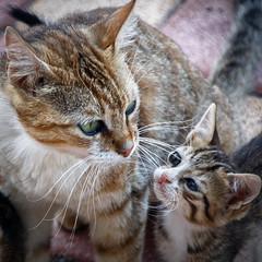 Maternité (Lucille-bs) Tags: europe grèce greece crète creta kriti mochlos 500x500 chat chaton maman bébé félin petit amour
