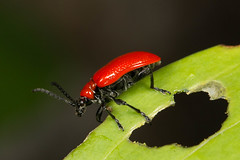 Asiatic Lily Beetle (mattbpics) Tags: ef100mmf28lmacroisusm asiaticlilybeetle coleoptera canon 70d nature wildlife fauna