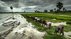 The Sowing Season (Neha & Chittaranjan Desai) Tags: monsoon sowing season farm farming rice paddy crop cultivation agriculture india gujarat surat landscape people rural