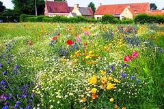 Summer in Flanders fields (jackfre 2 (away for a few days)) Tags: belgium gestel filed flowers summer summerflowers flanders prairie field