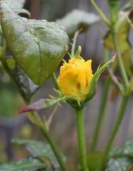 Rainy Day (Bebopgirl1969) Tags: rose raindrops flower garden