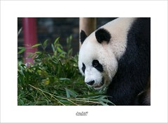 bored panda (Zino2009 (bob van den berg)) Tags: panda mamal male zoo china bamboo green veggy eat meal leaves black white huge sweet bear dangerous cuttle cute toy diner spleeping new ouwehandsdierenpark rhenen holland present governement chinese borrow gift xingya two whoswho zino2009 dutch netherlands wuwen
