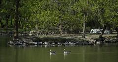 a boat (Igor Gluhoj (intui.pro)) Tags: ducklings ducks pond animals nature reserve birds askanianova ukraine outdoor bird animal aquatic waterfowl duckling water boat bay