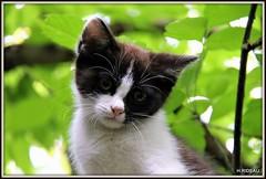 ZOE : portrait (Les photos de LN) Tags: cat pet kitten chaton chatte félin animaldomestique animaldecompagnie