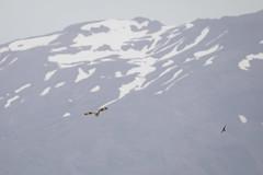 Short eared owl - velduil (webted) Tags: shortearedowl velduil husavik iceland ijsland