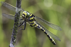 Golden-ringed Dragonfly (Cordulegaster boltonii) (PINNACLE PHOTO) Tags: goldenringed dragonfly cordulegasterboltonii large black gold yellow stripes green eyes chilled pose sigma150600mm 600mm canon7dii surrey july 2017 martinbillard