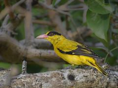 Male black-naped oriole (Robert-Ang) Tags: blacknapedoriole oriole bird nature wildlife chinesegarden singapore orioluschinensis animalplanet