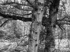 Two Trees without an Owl (Hyons Wood) (Jonathan Carr) Tags: mediumformat monochrome 6x45 black white bw rural northeast abstract landscape tree ancientwoodland