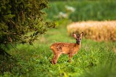 Kitz (stef7612) Tags: felder rehwild wald wildlife kitz rehkitz natur deer roedeer cornfield forest bayern bavaria bavarianwildlife fawn capreoluscapreolus nature tier animal