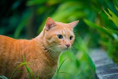 """I C SOMETHIN MOVIN DOWN THAR....SOMETHIN MOVIN!"" (stratman² (2 many pix!)) Tags: canonphotography eos650d efs55250mmf456isstm littlejoey orangecats katzen chat gato kitteh catmoments flickrelite cc100 neko oreengenesses kucing comel felinuscattus tabby moggie colorful portrait bokeh shallowdof cat pet iso3200"