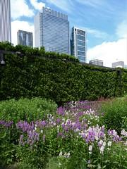 Chicago, Millennium Park, Lurie Garden (Mary Warren (8.7+ Million Views)) Tags: chicago urban skyscraper millenniumpark luriegarden garden hedge nature flora plants pink blooms blossoms flowers