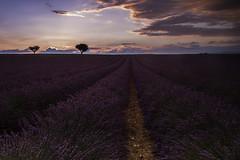 After the rain (Nathalie Le Bris) Tags: rain lavender purple sunset lavanda crepúsculo morado violeta campo field summer