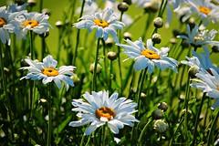 Summer Dasies (CanMan90) Tags: flowers dasies closeup white bokeh victoria britishcolumbia beachdrive oakbay cans2s canon rebelt3i canada outdoors