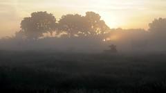 Sonnenaufgang über den Rinderweiden; Bergenhusen, Stapelholm (81a) (Chironius) Tags: stapelholm bergenhusen schleswigholstein deutschland germany allemagne alemania germania германия niemcy morgendämmerung sonnenaufgang morgengrauen утро morgen morning dawn sunrise matin aube mattina alba ochtend dageraad zonsopgang рассвет восходсолнца amanecer morgens dämmerung gegenlicht tier rind nebel fog brouillard niebla baum bäume tree trees arbre дерево árbol arbres деревья árboles albero árvore ağaç boom träd