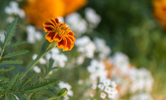marigold (Dotsy McCurly) Tags: marigold plant flower pretty nature beautiful sweetalyssum yard nikond750 newjersey 7dwf 105mm
