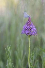 Standby (Rafael Díez) Tags: españa larioja camprovin primavera macro naturaleza rafaeldíez flor orquídea mariposa