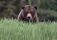 Grizzly Bear face as he eats his way through the sedge (Paul Cottis) Tags: grizzly brown bear mammal greatbearrainforest greatbearlodge smithinlet paulcottis 29 may 2017 portrait