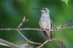 Anna's hummingbird (jlcummins - Washington State) Tags: home bird washingtonstate yakimacounty fauna nature backyardbirds hummingbird annashummingbird