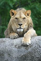 Kibo, lion de l'Atlas (olivier.ghettem) Tags: zoodeparis zoodevincennes zoo parczoologiquedeparis paris lion liondafrique liondelatlas felin fauve carnivore animal kibo