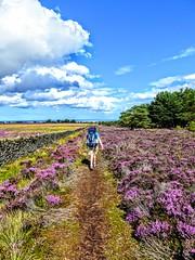 COAST TO COAST WALK 2015 (pajacksonartist) Tags: wainwright coasttocoast walk walker walking hike hiker hiking purple heather north sea york moors national park yorkshire england