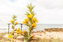 Una planta que se come: Scolymus hispanicus (marysaesteban) Tags: 2017 barbate cádiz españa playa spain zahora julio summer veano cardo cardillo compositae compuestas flor flower sea mar océano atlántico 7dwf flora