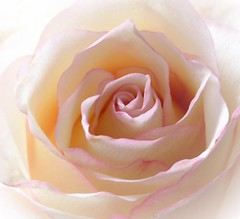 A Rose (wilma HW61) Tags: roos rose rosa bloem flor fleur flower flora floral floreale natuur nature natur naturaleza macro doff dull focus nederland niederlande netherlands nikond90 holland holanda paísesbajos paesibassi paysbas europa europe été zomer summer sommer outdoor wilmahw61 wilmawesterhoud rozenblaadjes rosenblüten despétalesderose petalidirosa rosepetals wow pastel