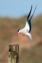 Common Tern (avaird44) Tags: commontern post landing newburgh aberdeenshire scotland