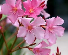 Oleander (Nerium oleander) (HEN-Magonza) Tags: botanischergartenmainz mainzbotanicalgarden rheinlandpfalz rhinelandpalatinate deutschland germany flora oleander neriumoleander