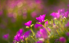 Helios - Halving the compass (Ans van de Sluis) Tags: sunset flowers flower botanic botanical bokeh bokehlicious flora floral garden goffertpark helios helios442 ansvandesluis warmth ghosting flare