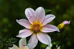 DSC-4222 (Sunil - Bhoj) Tags: flower mysuru karnataka india