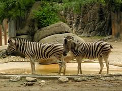 Burchell's zebra (Nemoleon) Tags: philadelphiazoo july 2017 burchellszebra equusquagga dscn4649