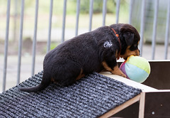 DSC_6145 miss Orange with ball picture 3 (Ter Waele) Tags: rottweiler breeding pups young dogs