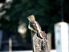 Cultura Guaraní El pirincho (Guira guira) (jagar41_ Juan Antonio) Tags: animales aves ave animal pájaros pájaro pirincho