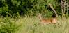 Airborne (briarphotos) Tags: briarphotos nikon nikon18200mm whitetail deer