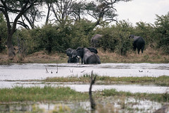 Playing elephants (knipslog.de) Tags: playing elephants khwairiver khwai river botswana botsuana safari adventure wildlife wild animals selfdrivesafari