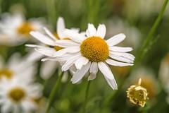 Geruchlose Kamille (günter mengedoth) Tags: makro blume kamille geruchlosekamille wildblume blüte tripleurospermum inodorum simply superb excellentsflowers