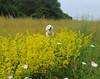 Lady's Bedstraw (Galium verum) and of course DITTE! (Ingrid0804) Tags: goldenretriever ladysbedstraw galiumverum summer flowers happydog saariysqualitypictures