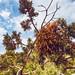 Desert Tree Leaves