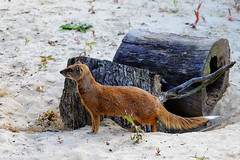 Yellow Mongoose, mangouste (claude 22) Tags: animal woburn safari park wild desert life bedfordshire england uk angleterre natural yellow mongoose mangouste fujinon fuji xf18135mm xt1