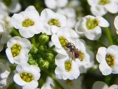 Alyssum and Flying Ant (starmist1) Tags: flyingant alyssum carpetofsnow strawberrypot frontyard maggiesgarden flowergarden july summer garden entomology insect