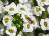 Alyssum and Flying Ant (starmist1) Tags: flyingant alyssum carpetofsnow strawberrypot frontyard maggiesgarden flowergarden july summer garden entomology insect