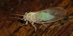 Cacopsylla annulata (Female) (AnthonyVanSchoor) Tags: cacopsylla kit psyllid marylandbiodiversityproject sugar maple insects insecta quad39076b7