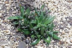 Bergeranthus multiceps (Salm-Dyck) Schwantes - BG Meise